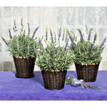 Lavender 'Goodwin Creek Grey' in Baskets to 3 Different Addresses - Standard Shipping Included