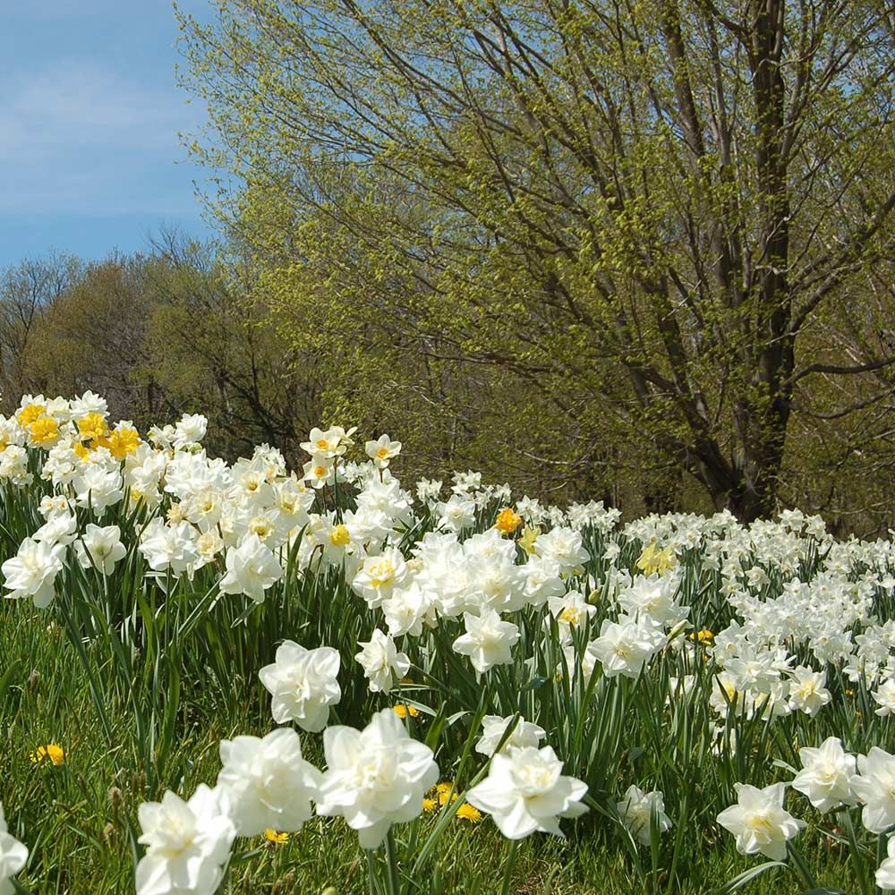 White Welcome Narcissus Mixture | White Flower Farm