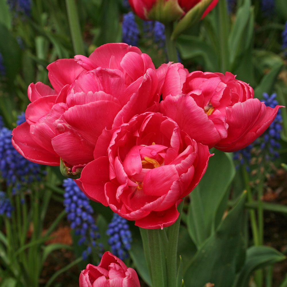 Tulip 'Crown Princess Mary'