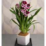 White with Burgundy Miltonia Orchid in 5