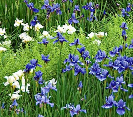 Wings Over Water, Collection of 12 Siberian Iris Plants