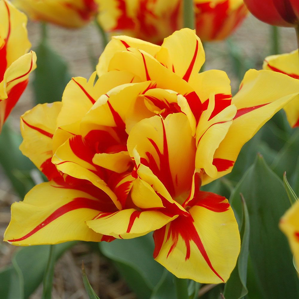 Tulip 'Monsella'