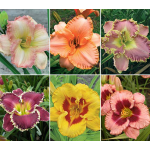 Hemerocallis 500 Series Collection
