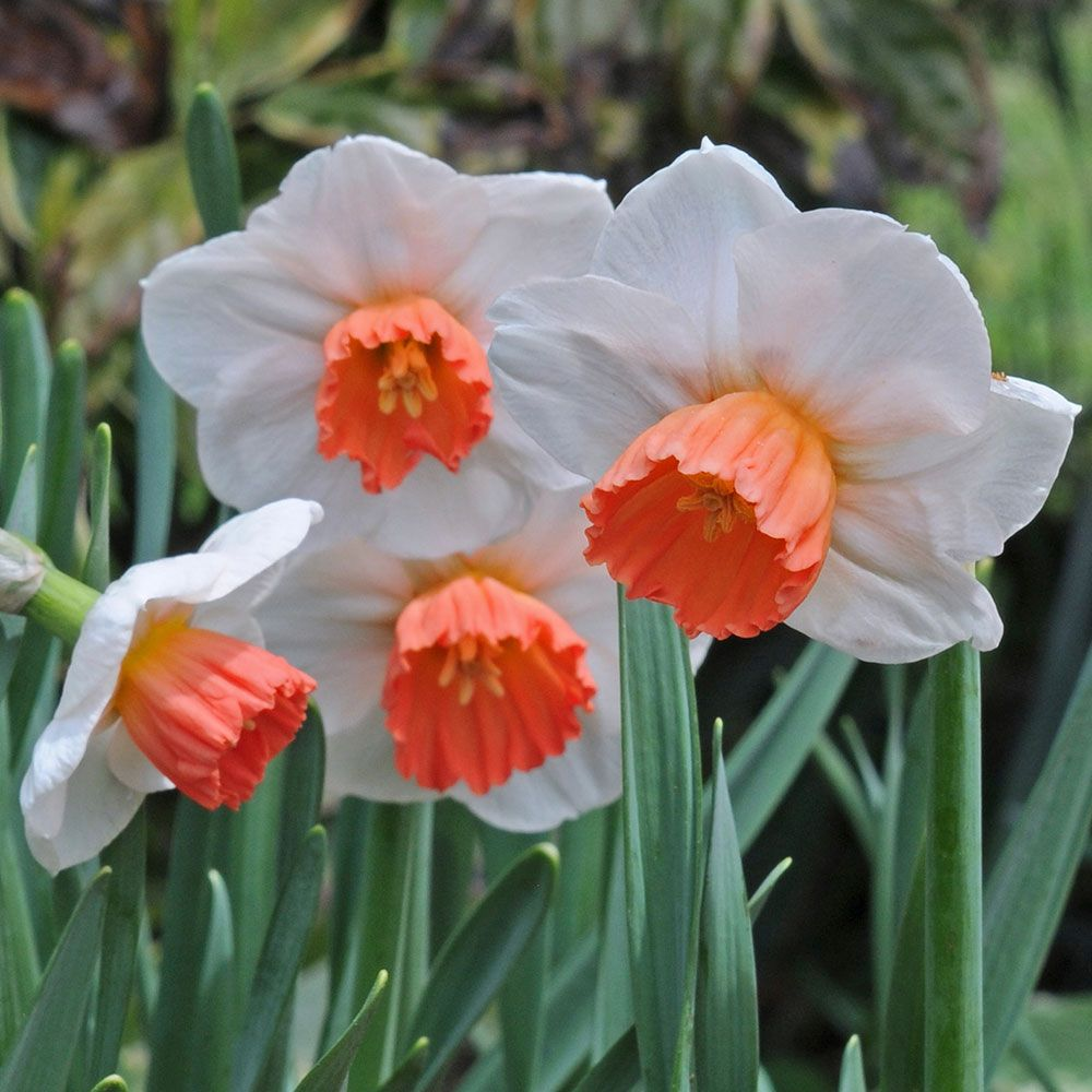 Narcissus 'Brooke Ager'