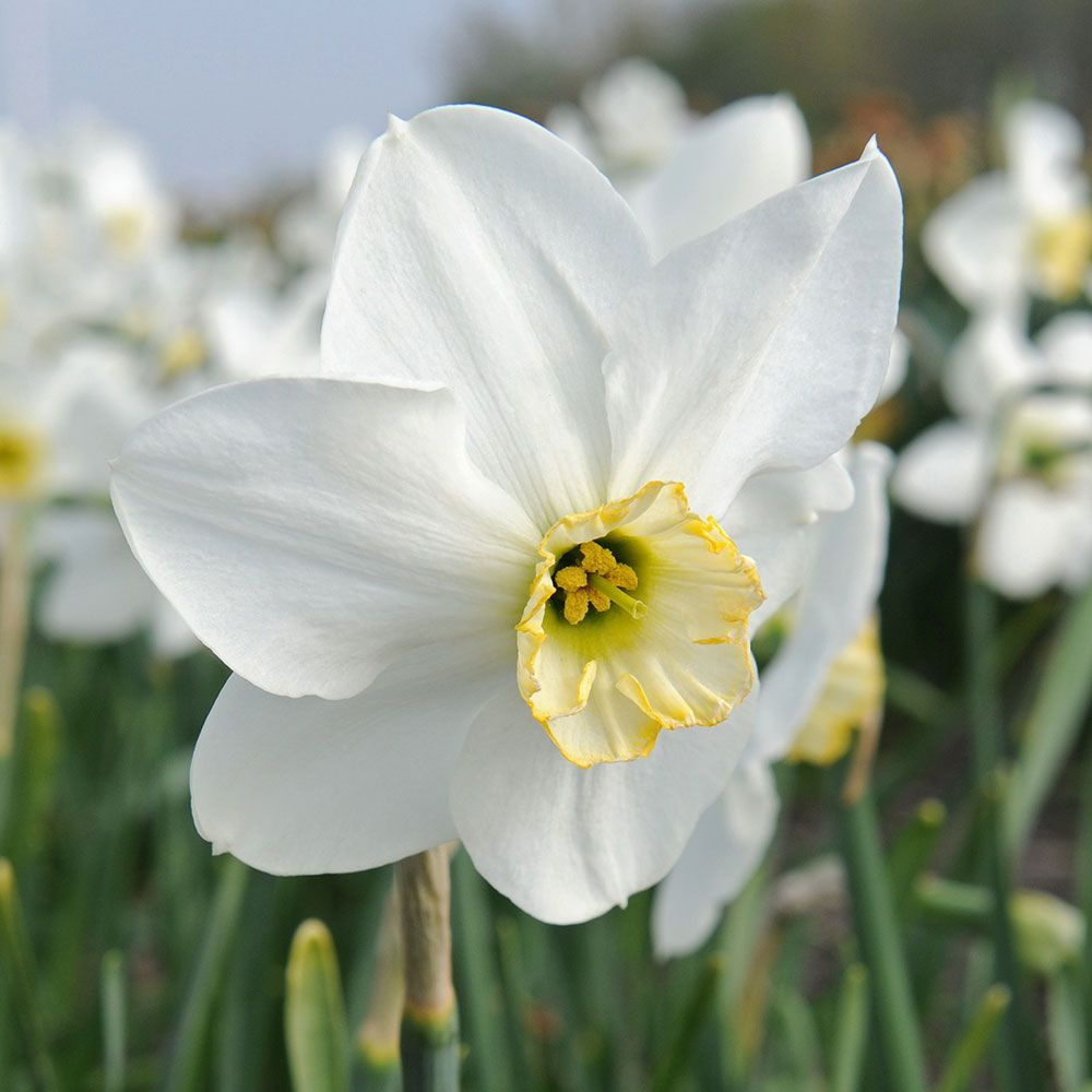 Narcissus 'Eleanor Auchincloss'
