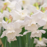 Narcissus 'Elvin's Voice'