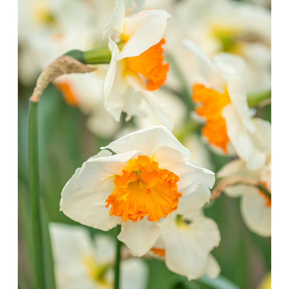 Narcissus 'Gentle Giant'