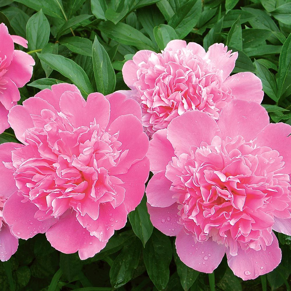 Pink Peony Bouquet White Flower Farm