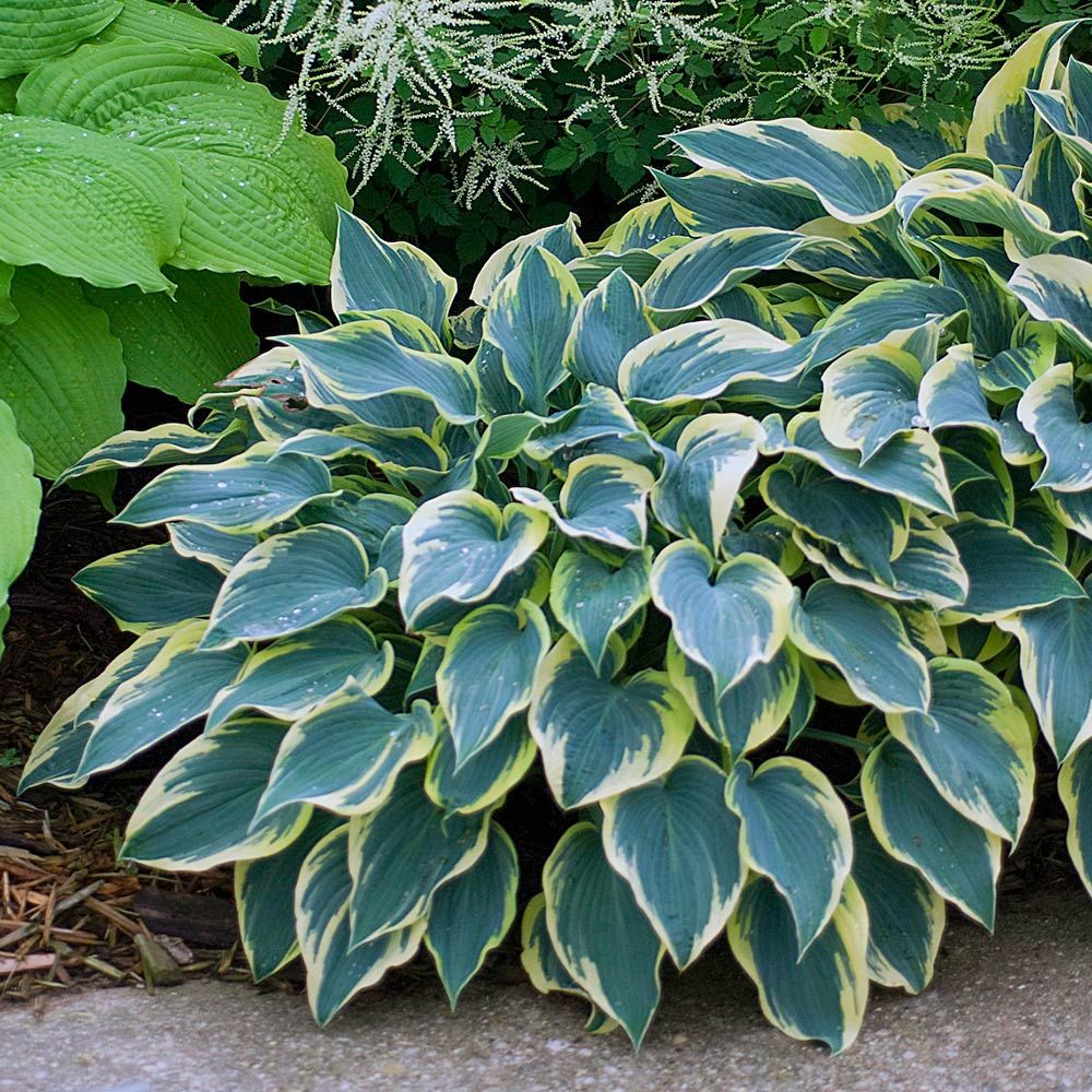 Hosta First Frost White Flower Farm