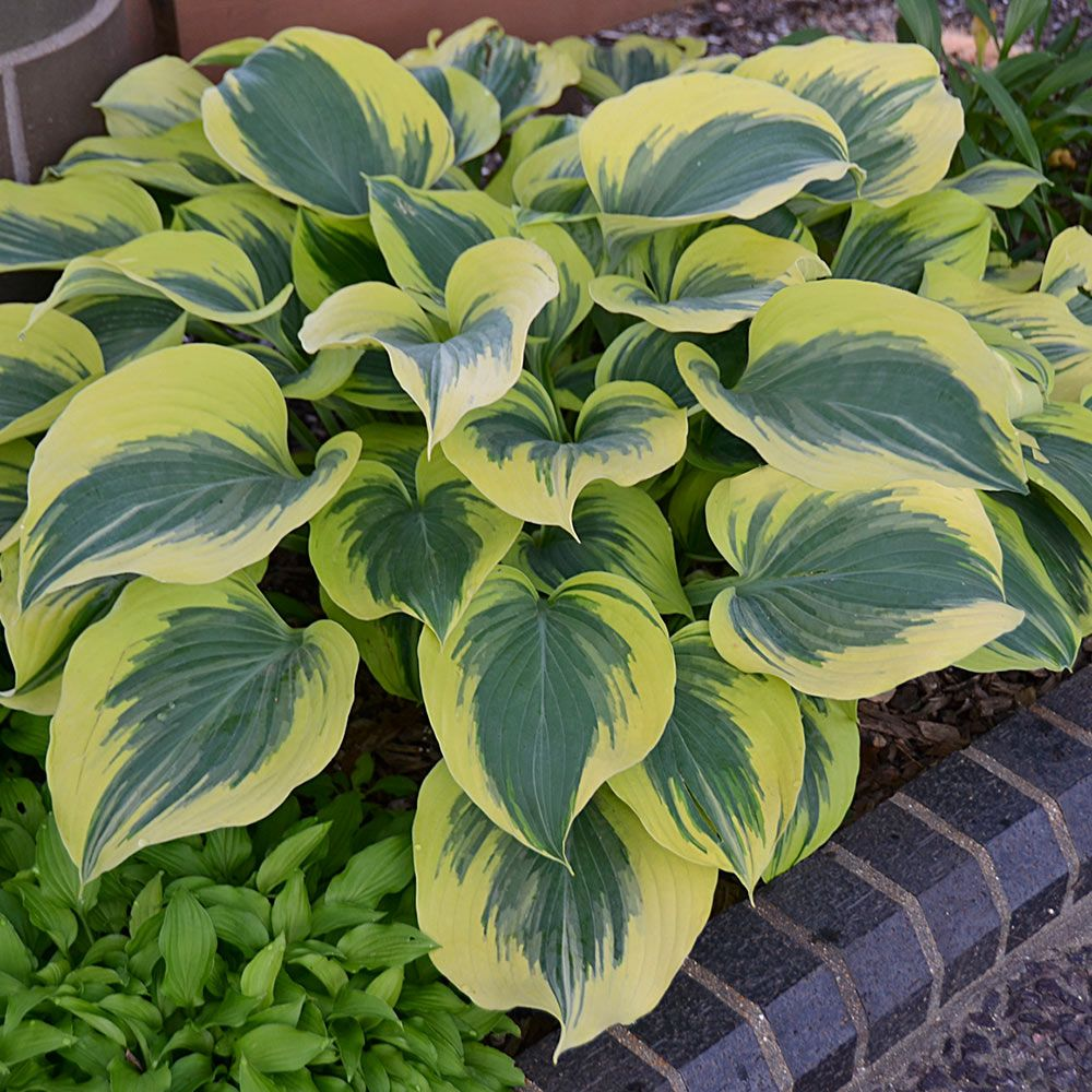 Hosta liberty white flower farm hosta liberty mightylinksfo