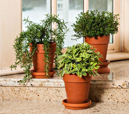 Classic Kitchen Herb Trio in terra-cotta long tom pots