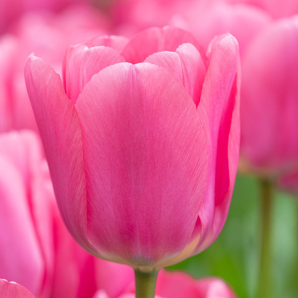 Tulip 'Big Love'