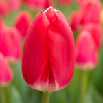 Tulip 'Cherry Delight'