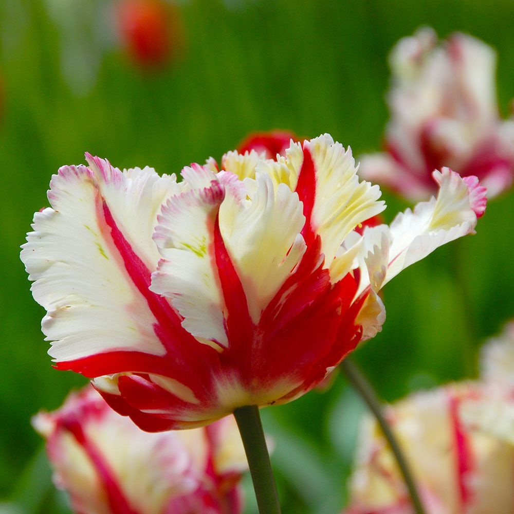 Tulip 'Flaming Parrot'