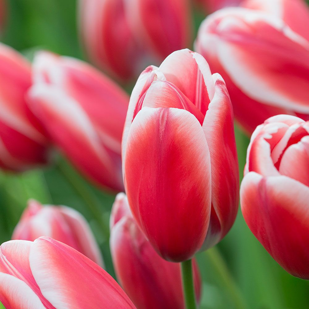 Tulip 'Kelly'