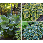 Award-Winning Hosta Trio