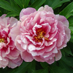 Peony 'Pink Double Dandy' - Itoh Peony