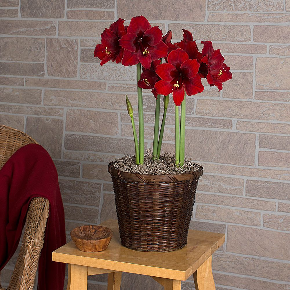 Amaryllis Fire Dancer®