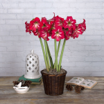 Amaryllis Hot Lips®