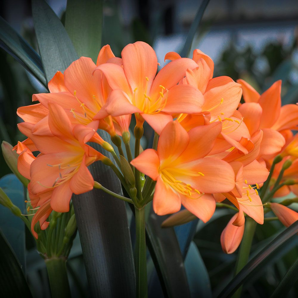 clivia plant care instructions