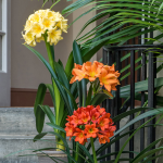 Exclusive Clivia Plants