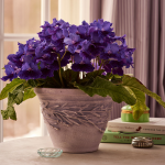 Cape Primrose 'Deep Blue Vein' in embossed clay pot
