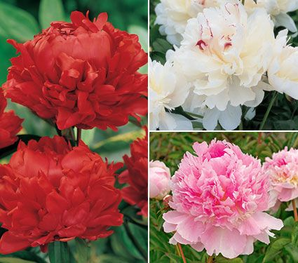 fragrant peony collection white flower farm
