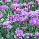 Tulip 'Lilac Perfection'