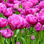Tulip 'Backpacker'
