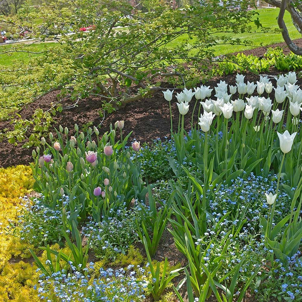 Spring Triumph Tulip, Forget-me-not & Sedum Collection