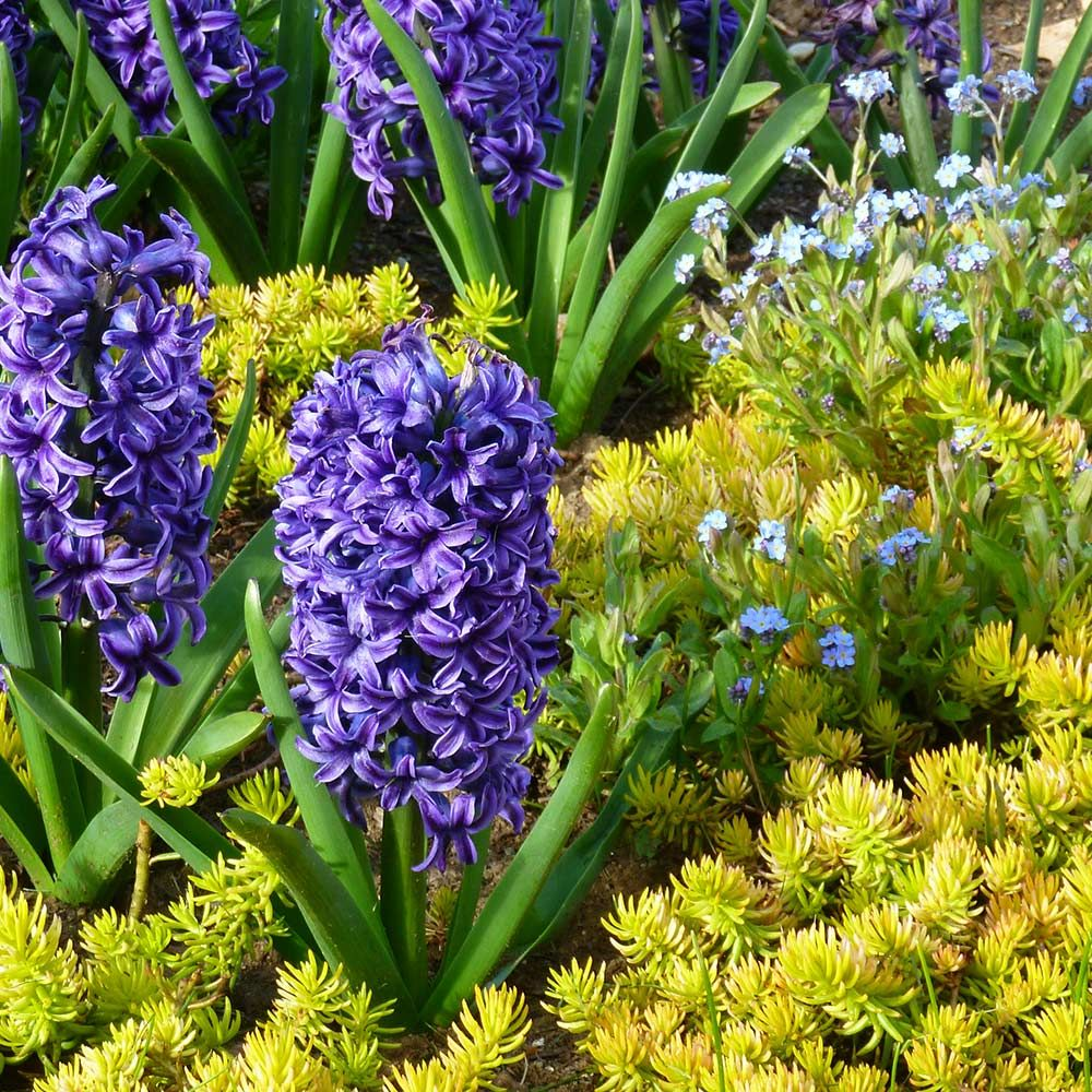 Springtime Sizzle Hyacinth, Forget-me-not & Sedum Collection