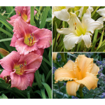 Reblooming Daylily Trio