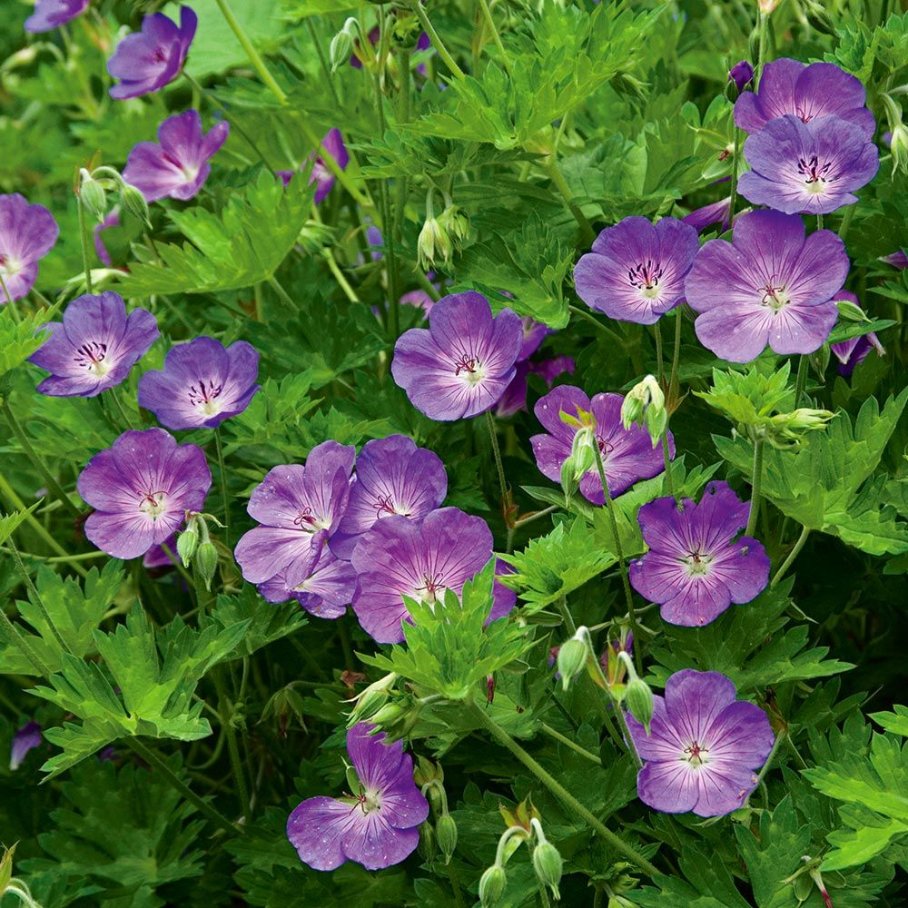Geranium rozanne white flower farm mightylinksfo Choice Image