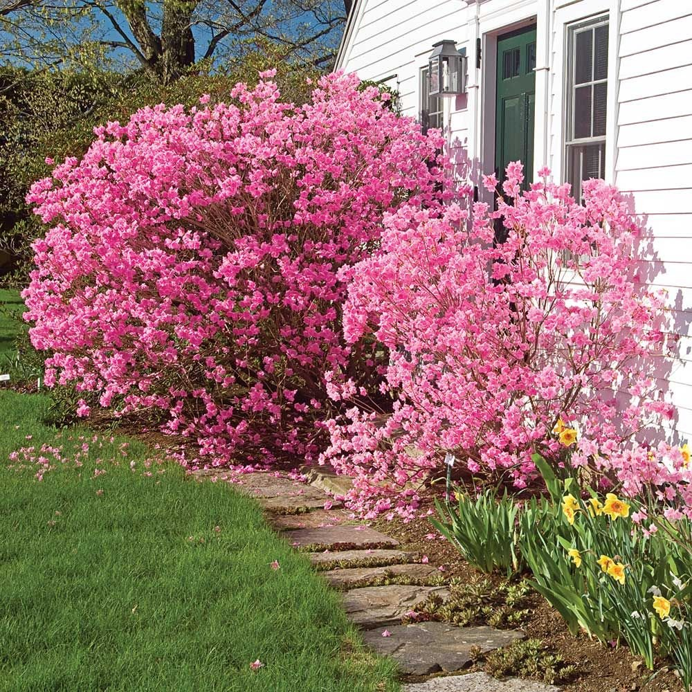 Image result for rhododendron