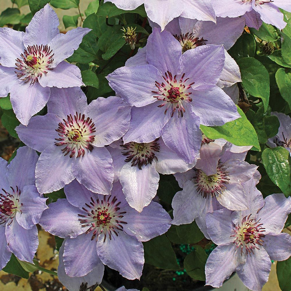 Clematis Still Waters™