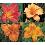 Border of Orange Daylilies (Hemerocallis)