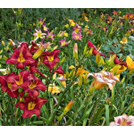 Crescendo Daylily (Hemerocallis) Collection