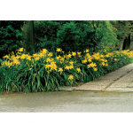Border of Yellow Daylilies (Hemerocallis)