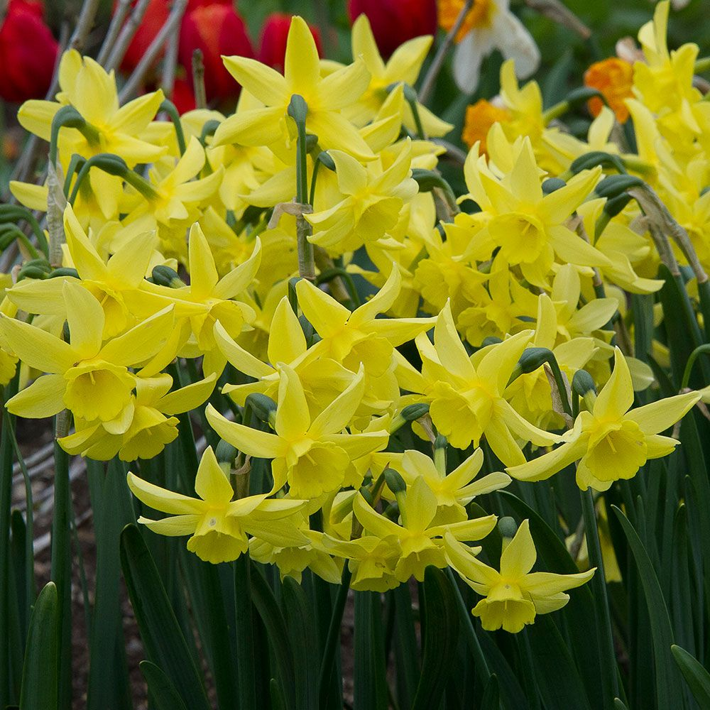 Narcissus 'Ginter's Gem'