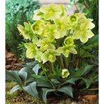 Helleborus Winter Magic™ 'Snow Love'