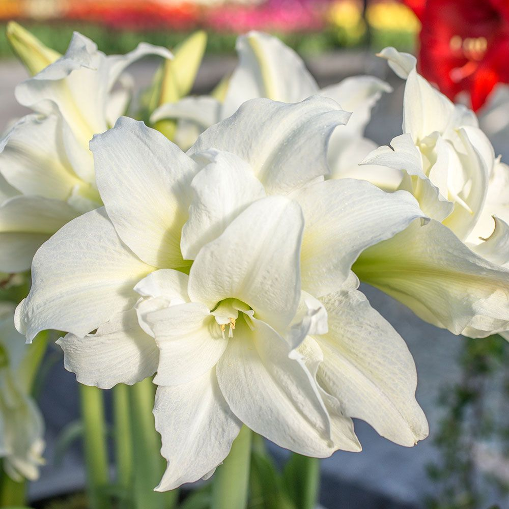 Amaryllis Ice Queen One Bulb 24 Quot Tulip Stand With Glass Vase And Clear Gem Stones White