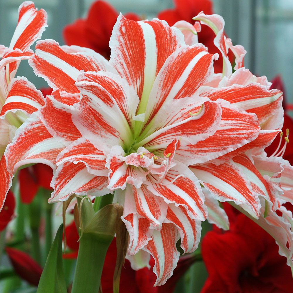 How to grow Amaryllis - White Flower Farm