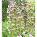 Fritillaria persica 'Green Dreams'
