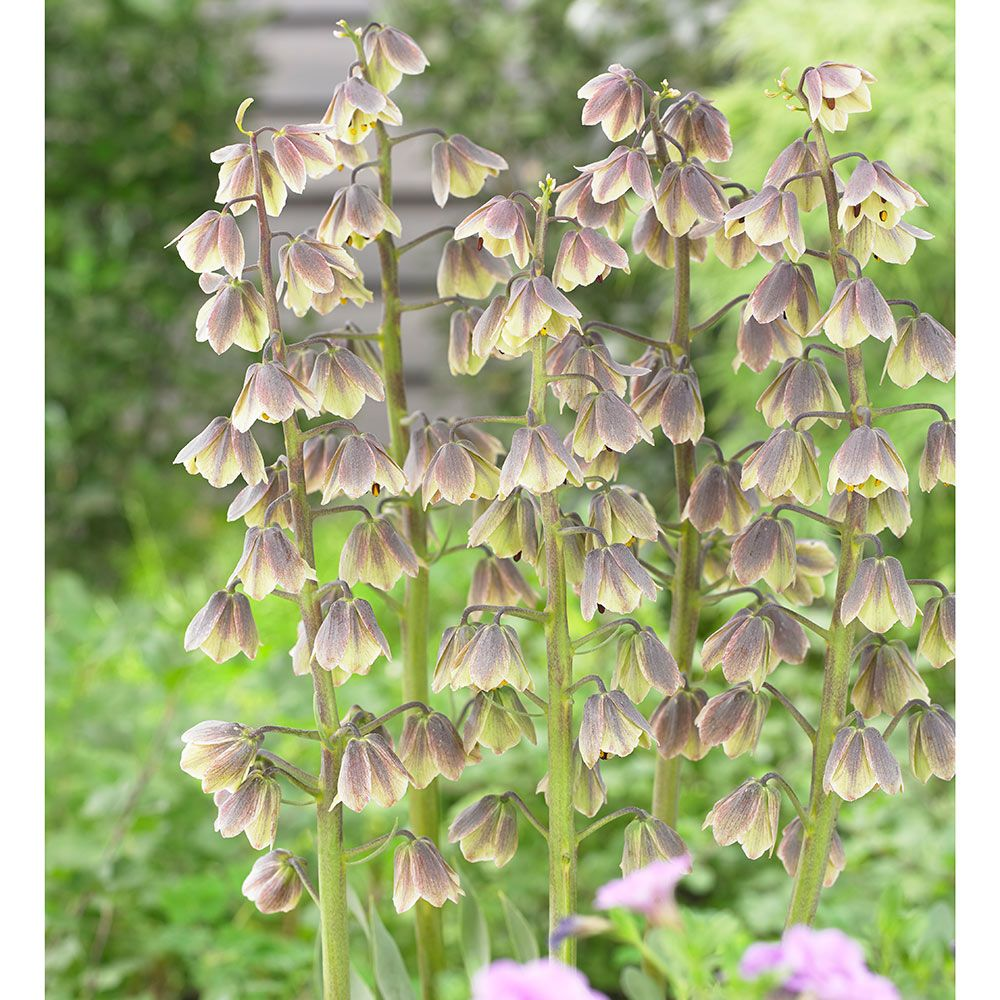 fritillaria persica planting instructions
