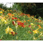 Unique 50 Daylilies - Hemerocallis
