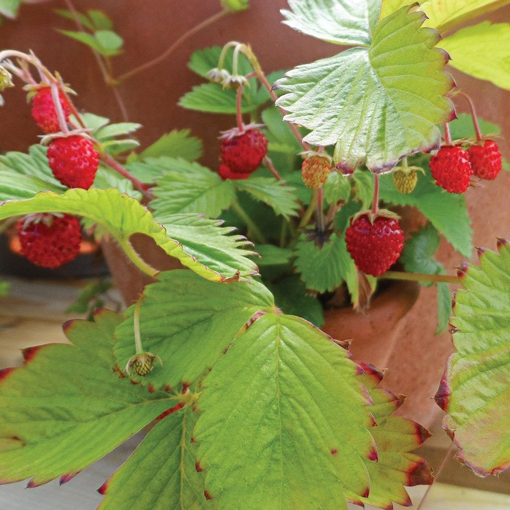 Strawberry Plants | White Flower Farm