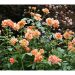 Hard-to-Find Roses