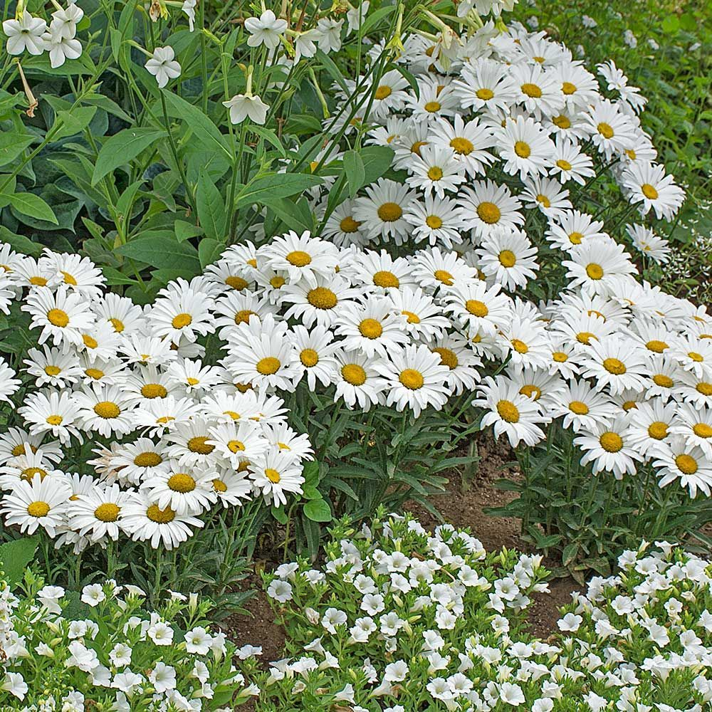 Moon garden plants white flower farm moon garden plants mightylinksfo Choice Image