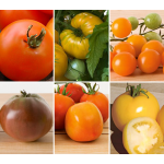 Staff Favorites Tomato Collection 6 plants