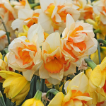 New Daffodil Varieties